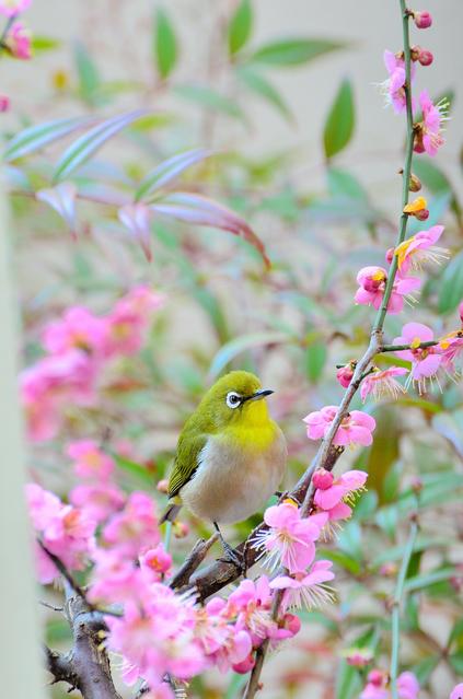 紅梅にメジロという早春の風景