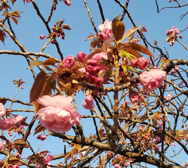 八重桜 工業団地内公園