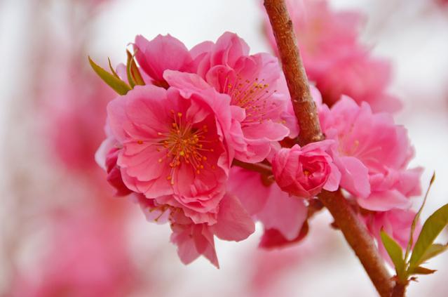 桃の花 ひな祭りには飾りましょう