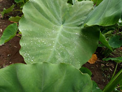 里芋の葉の夜露