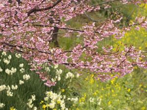 雛人形 春 桜