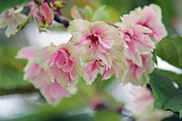 春うらら 桜