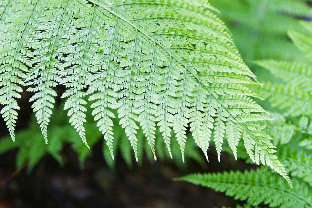 歯朶 徳川家康公ゆかりの植物