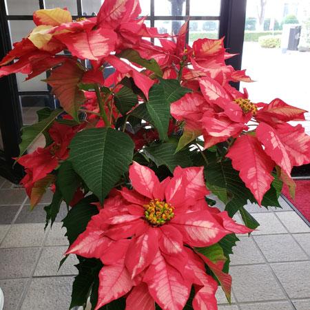 ポインセチアのお花