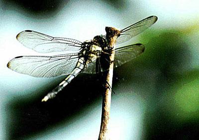 勝虫・将軍虫と呼ばれるトンボ