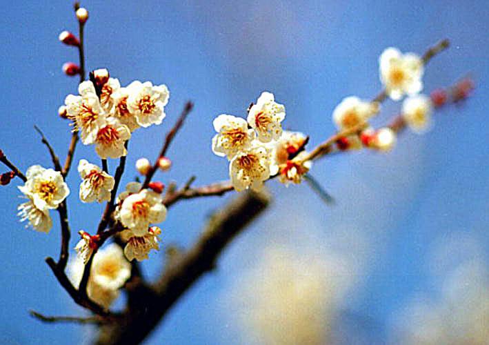 梅 春の先駆け 百花王