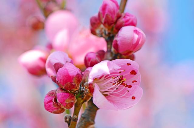 桃の節句 ひな祭りには欠かせません桃の花